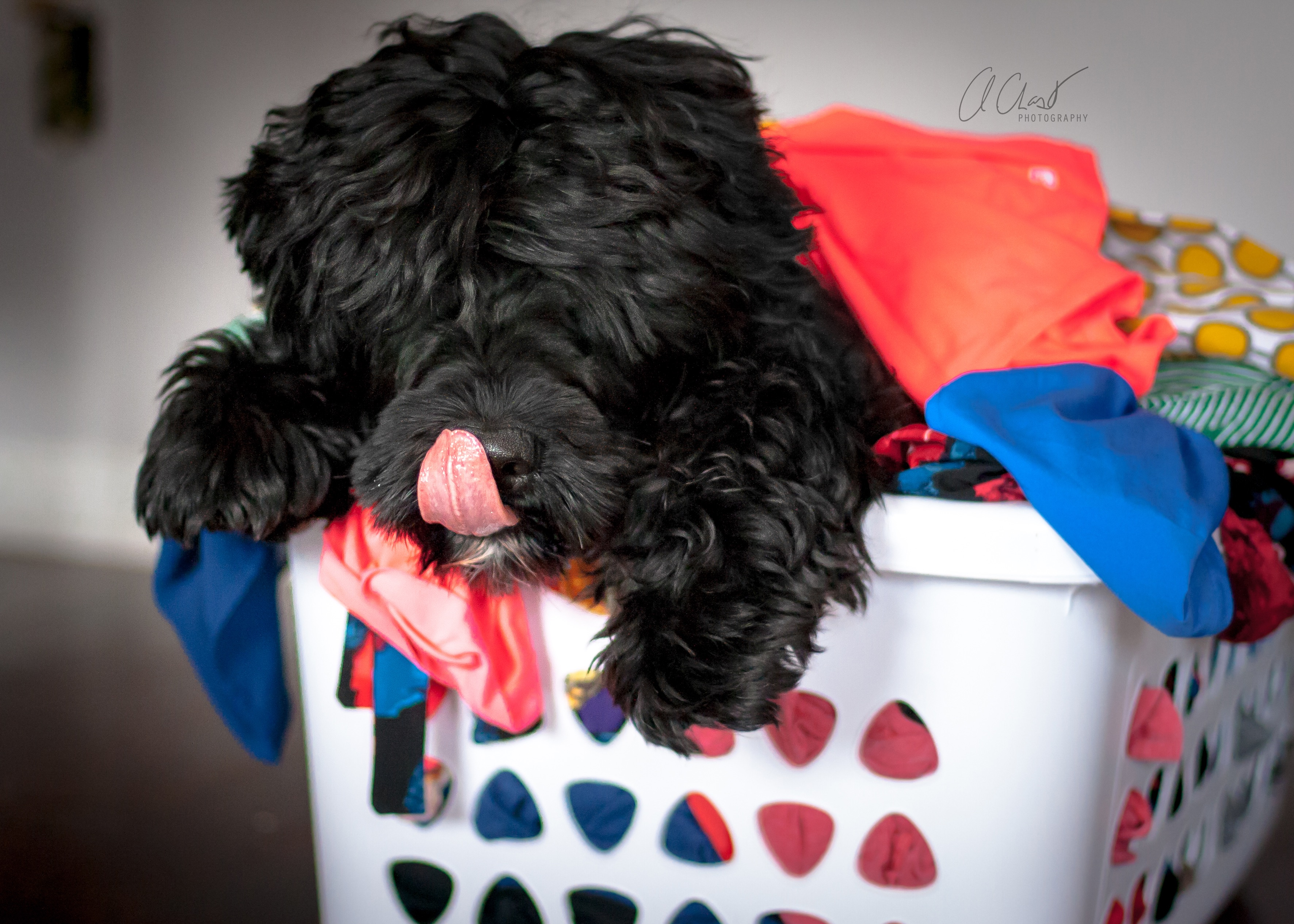 Can A Portugese Water Dog See Through Hair